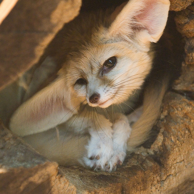Fennec Fox Environmental Adaptations